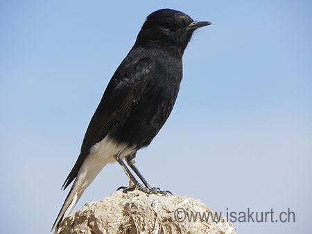 Oiseaux maroc for Oiseau tete noire et blanche